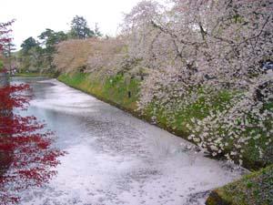 桜と花びらが浮かぶお堀