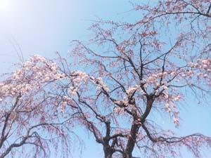 青い空と桜の写真