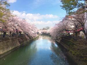 川の両側に広がる桜並木の写真