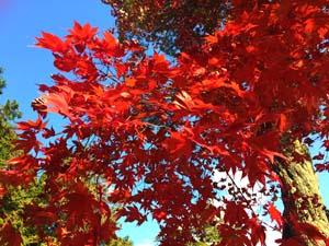 真っ赤に染まる紅葉と空