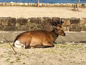 宮島で寝ている鹿の写真