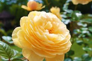 黄色いバラの写真