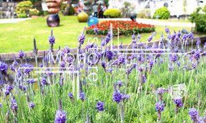 紫のラベンダーの写真