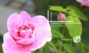 ピンクに色づく花の写真