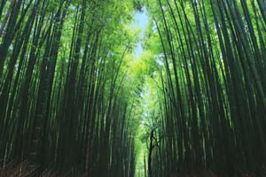 京都嵐山の竹林の写真