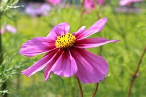 紫色のコスモスの写真