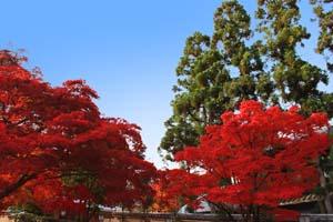 真っ赤に色づいた葉と青空の写真