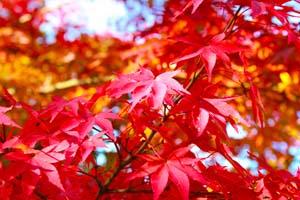 真っ赤な紅葉の葉の写真