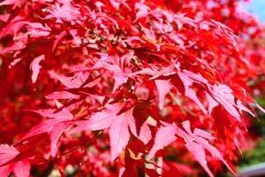 重なり合う紅葉の葉の写真