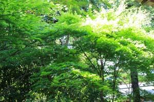 新緑が綺麗な木の写真