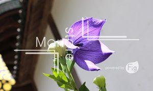 紫の桔梗の花と蕾の写真