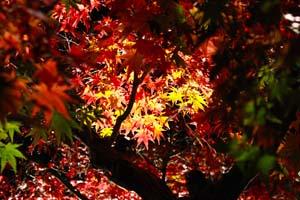 赤と黄色の紅葉の写真