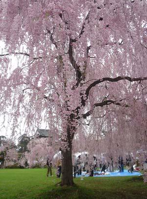 満開のしだれ桜の写真
