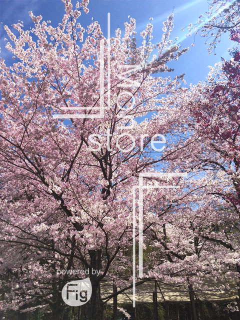 Photograph of cherry blossoms in full bloom and sky