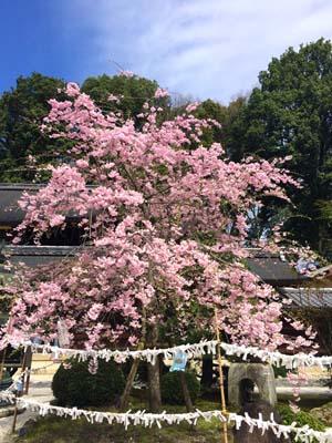 神社の境内に咲く桜の写真