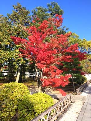 真っ赤に色づいた木の写真