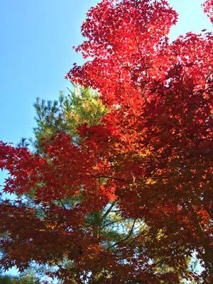 赤く色づいた紅葉の写真