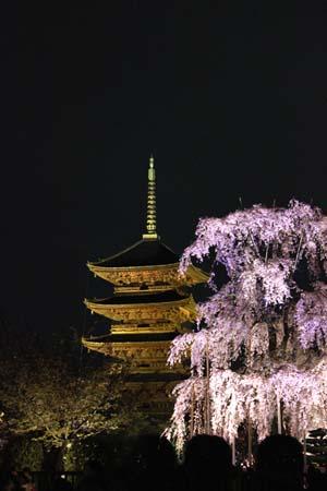 五重の塔とライトアップされたしだれ桜の写真
