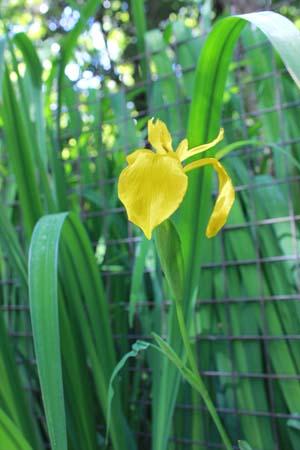 黄色い菖蒲の花の写真