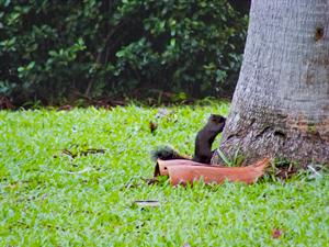 木に登ろうとする台湾リスの写真