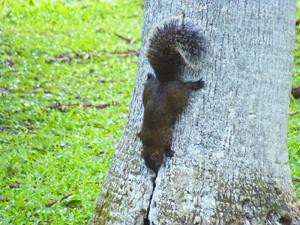 木から降りる台湾リスの写真