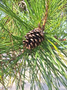 Pine Cone (conifer cone) and pine needles photos [Photo10202]
