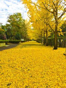 Carpet of Ginkgo roadside trees and yellow Ginkgo pictures [Photo10203]