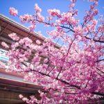 河津桜と京急三浦海岸駅の写真