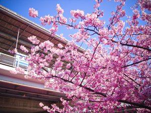 河津桜と京急三浦海岸駅の写真[Photo10247]