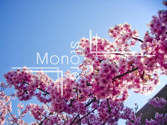 河津桜と青空の写真