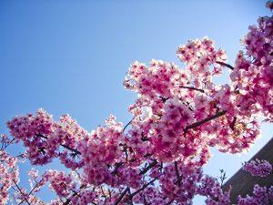 河津桜と青空の写真[Photo10248]