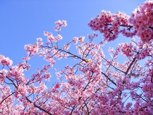 河津桜と青空の写真[Photo10249]