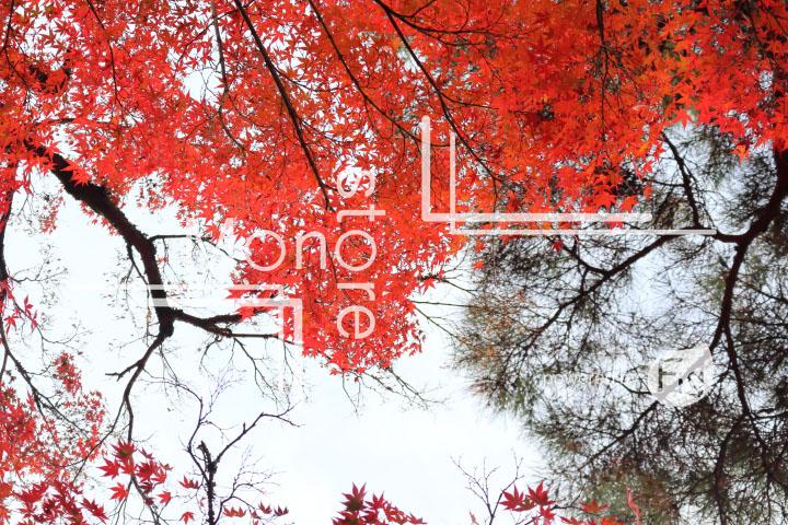 紅葉の写真 Autumn leaves Photography 3242