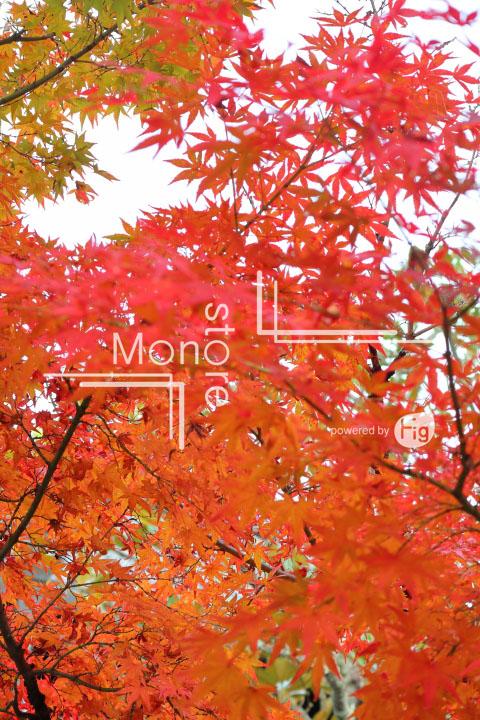 紅葉の写真 Autumn leaves Photography 3245