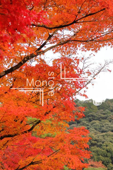 紅葉の写真 Autumn leaves Photography 3246