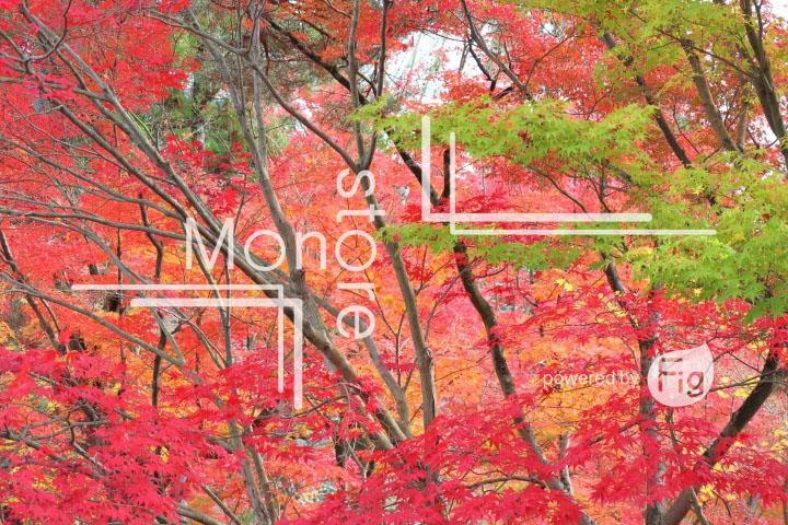紅葉の写真 Autumn leaves Photography 3247