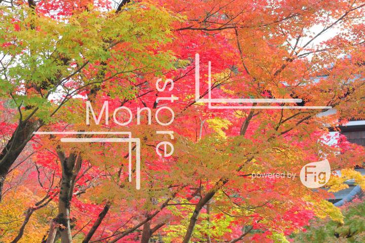 紅葉の写真 Autumn leaves Photography 3248
