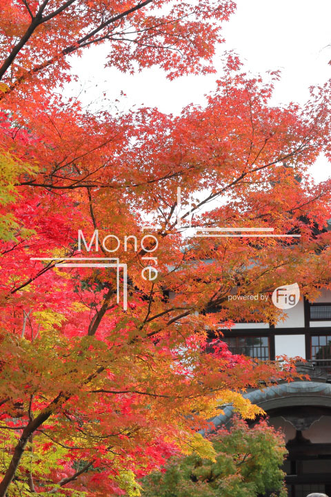 紅葉の写真 Autumn leaves Photography 3251