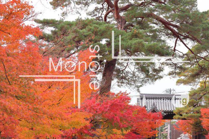 紅葉の写真 Autumn leaves Photography 3252
