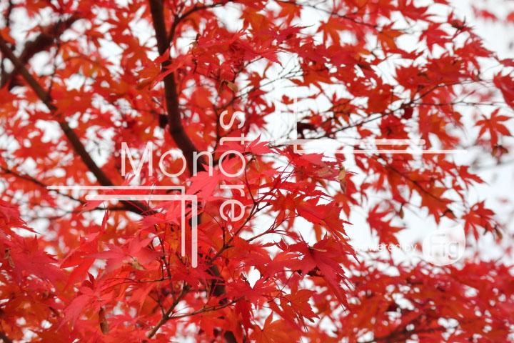 紅葉の写真 Autumn leaves Photography 3255