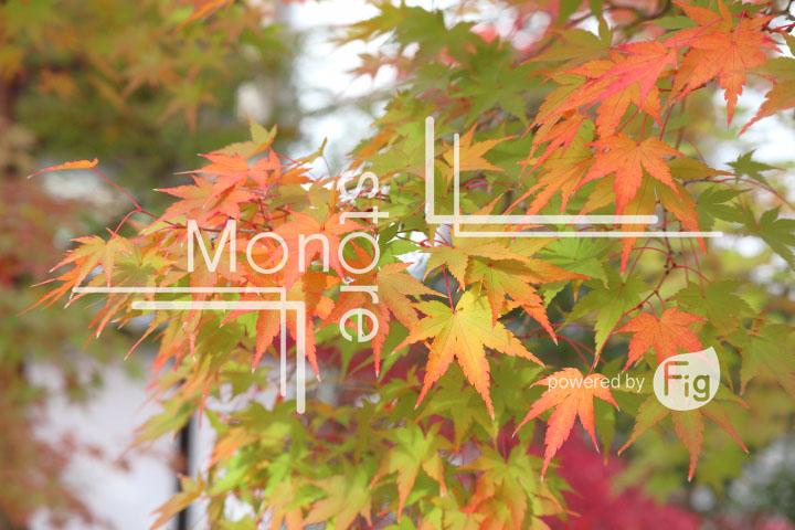 紅葉の写真 Autumn leaves Photography 3256