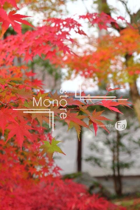 紅葉の写真 Autumn leaves Photography 3257