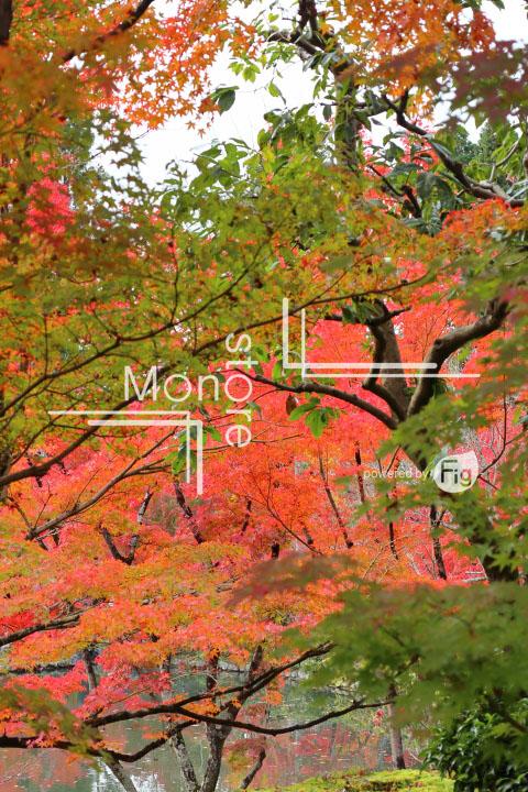 紅葉の写真 Autumn leaves Photography 3263