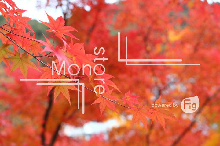 紅葉の写真 Autumn leaves Photography 3265