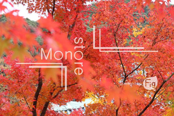 紅葉の写真 Autumn leaves Photography 3266