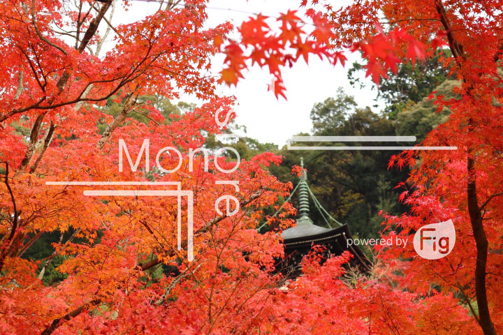 紅葉の写真 Autumn leaves Photography 3267