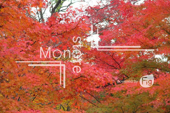紅葉の写真 Autumn leaves Photography 3268