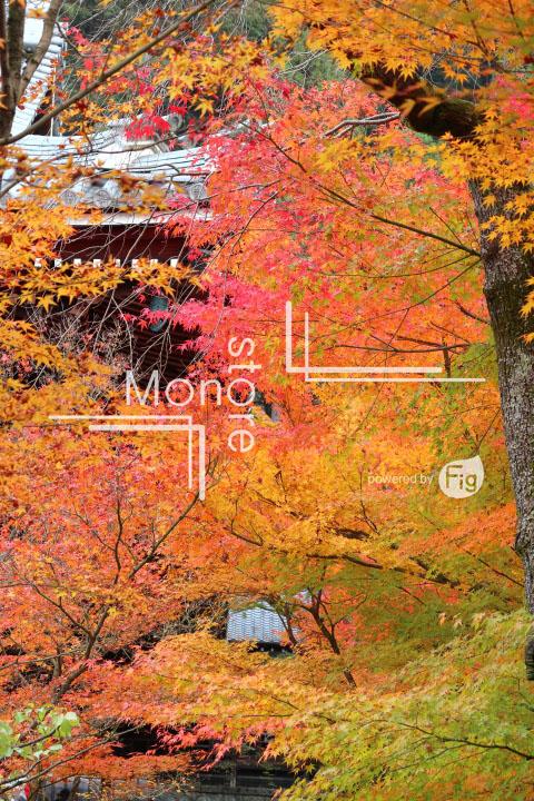 紅葉の写真 Autumn leaves Photography 3271