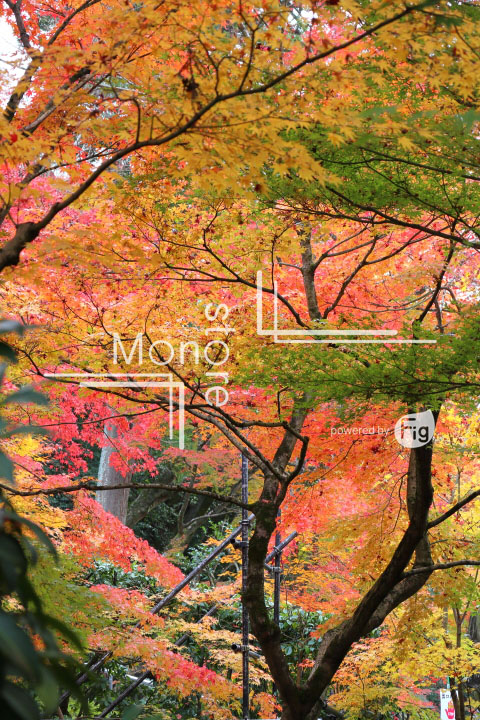 紅葉の写真 Autumn leaves Photography 3273