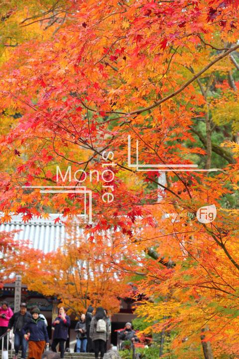 紅葉の写真 Autumn leaves Photography 3275